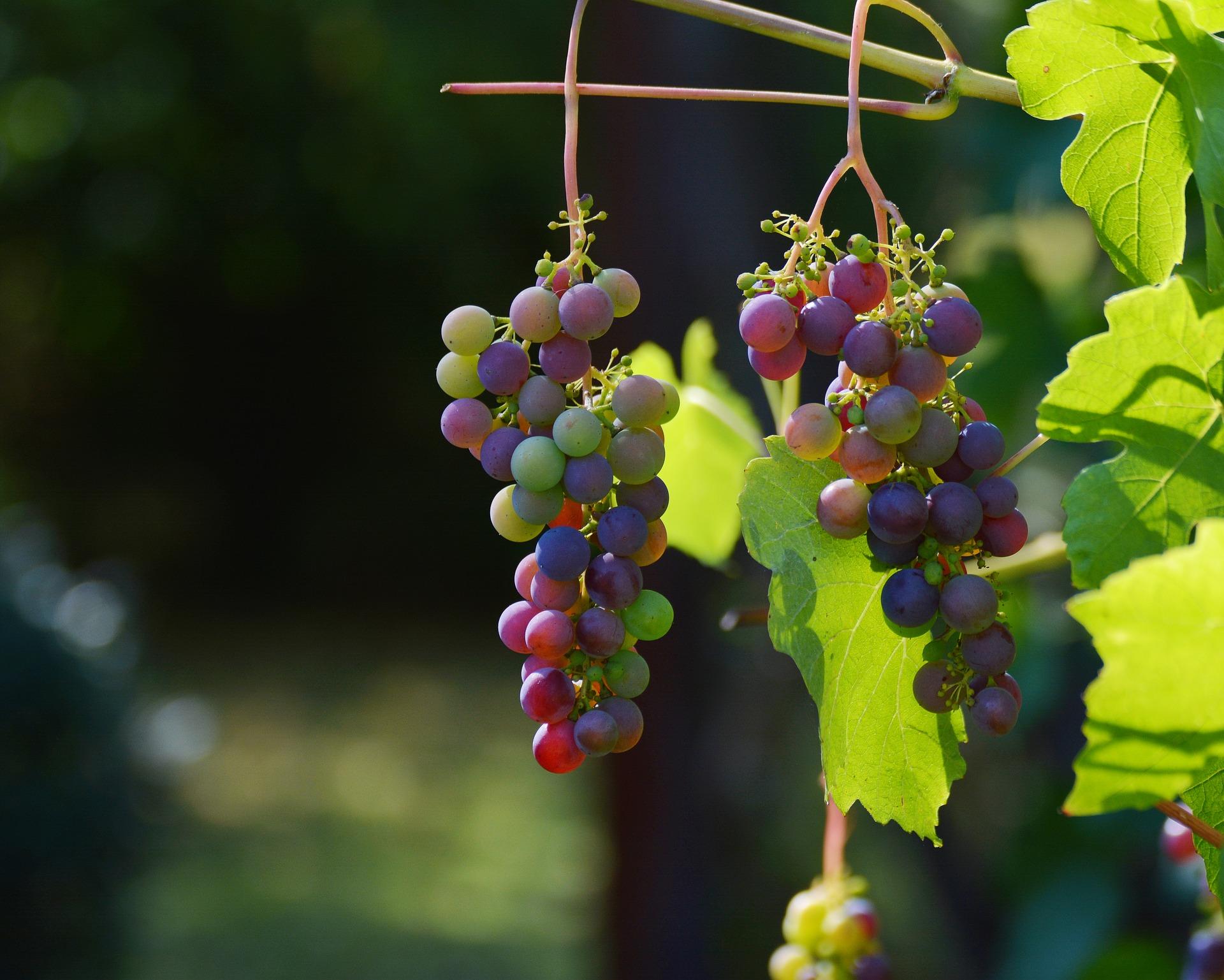 Science Spéculative : Quelle est la différence entre un raisin sec et une sultane ?